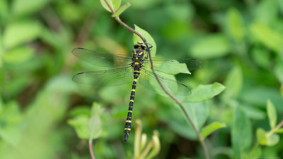 Golden Ringed Dragonfly at the Herbert Plantation 2a
