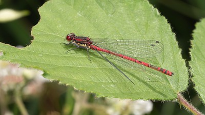 Large Red Damselfly at Bowdown 23rd June 2018 full