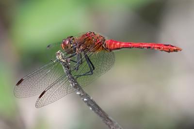Male Ruddy Darter Dragonfly at Decoy Heath - 6th July 2018 -3