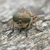 Horsefly at Rest