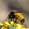 Sonoran Bumble Bee
