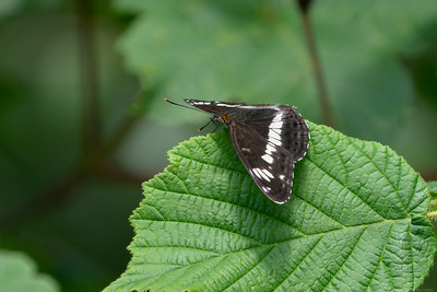 White Admiral butterfly at the Herbert Plantation 3