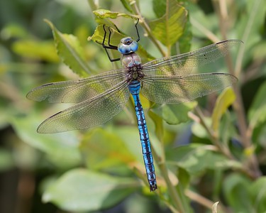 Male Emperor Dragonfly at Woolhampton 4th July 2018