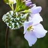Female Orange Tip on Cuckoo Flower - Ladies Smock -Cardamine Pratensis