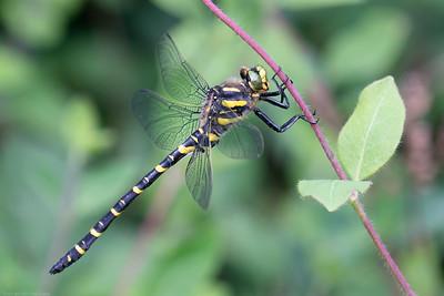 Golden Ringed Dragonfly at the Herbert Plantation Newbury