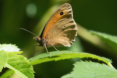 Meadow Brown Butterfly at Snelsmore 2