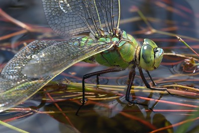 The Empress - Female Emperor Dragonfly in oviposition at Decoy Heath