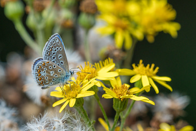 Female Chalkhill Blue Butterfly at Audrey's Meadow Greenham BBOWT-3