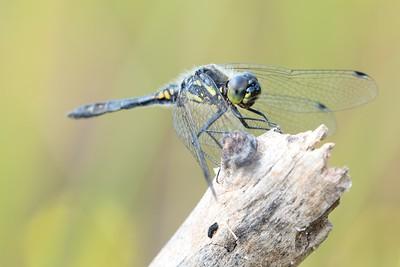 Black Darter Dragonfly at Decoy Heath - 5th July 2018 -2