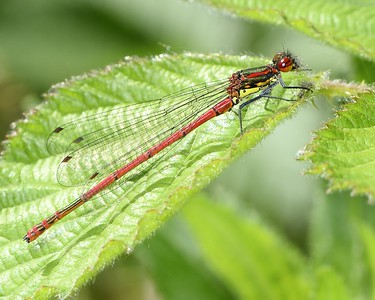 14th May 2017 - First Damselfly of 2017 - Large Red Damselfly - Kintbury