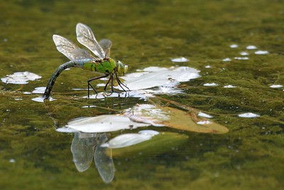 An Empress laying her eggs, Emperor Dragonfly on Greenham Common