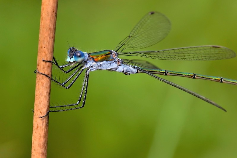 Male Emerald Damselfly - Sole Common Pond