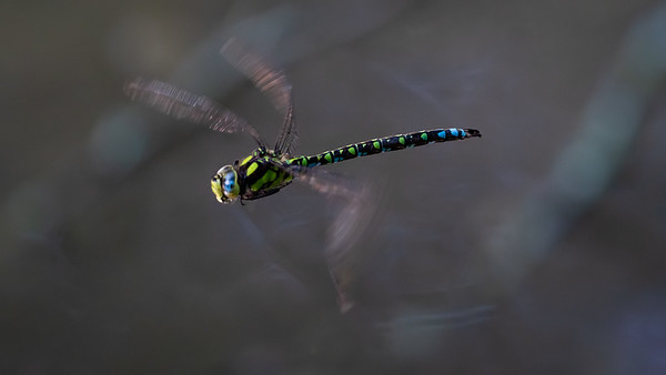 Male Southern Hawker Dragonfly at Upper Bucklebury