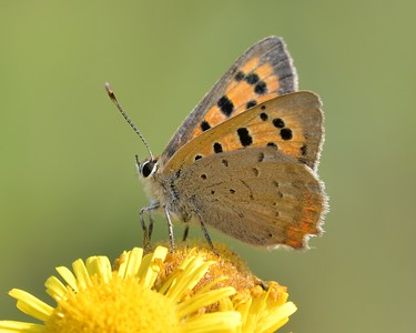 A Small Copper Butterfly at Decoy Heath