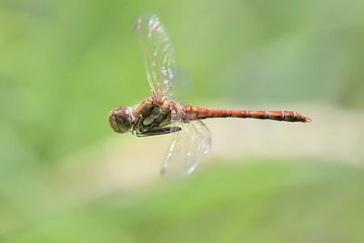 Common Darter Dragonfly in flight  at Bucklebury