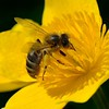 Close up of Bee on a Lesser Celandine Flower