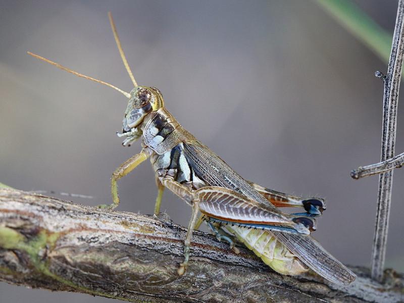 Spur throated grasshopper, Melanoplus pictus ??
