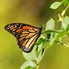 Danaus plexippus | Monarch