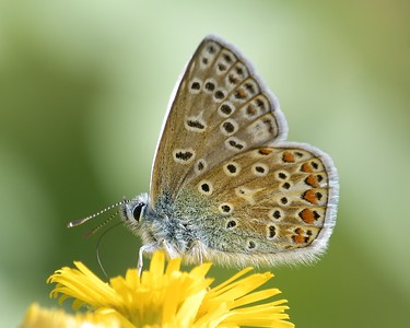 A Common Blue Butterfly at Decoy Heath 2