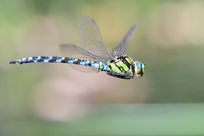 Second Southern Hawker Dragonfly - in flight over Sole Common