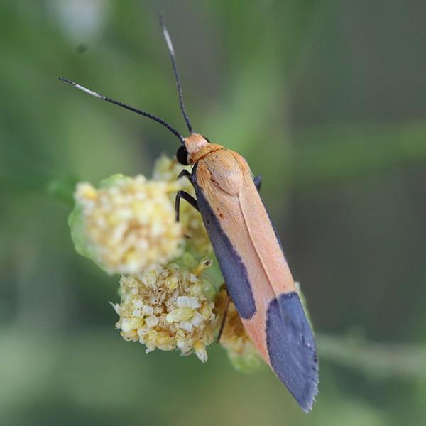 Angel Lichen moth