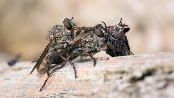 Brown Heath Robberflies - Machimus Cingulatus and prey