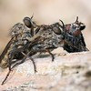 Brown Heath Robberflies - Machimus Cingulatus and prey