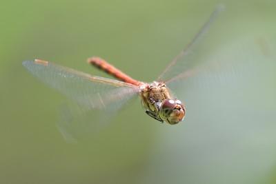 Common Darter Dragonfly in forward flight at Bucklebury