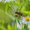 Megacyllene robiniae | Locust borer