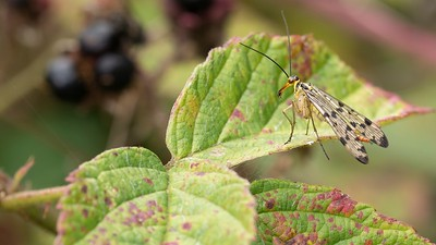 A Female Scorpion Fly - Panorpa communis -- at Kintbury