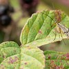 A Female Scorpion Fly - Panorpa communis -  at Kintbury