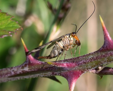 Scorpion Fly with lunch - Hungerford 27th June