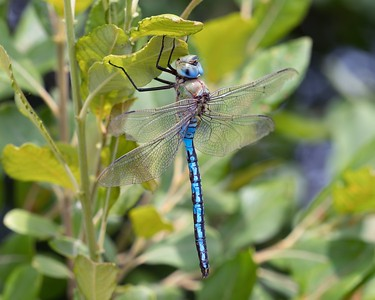 Male Emperor Dragonfly at Woolhampton 4th July 2018 2