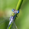 Male Emerald Damselfly at Pulborough Brooks 2