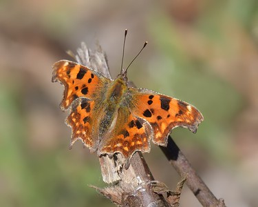 Comma Butterfly at Greenham  3rd April 2017jpg
