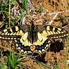 Papilio machaon | Old-world swallowtail | Schwalbenschwanz