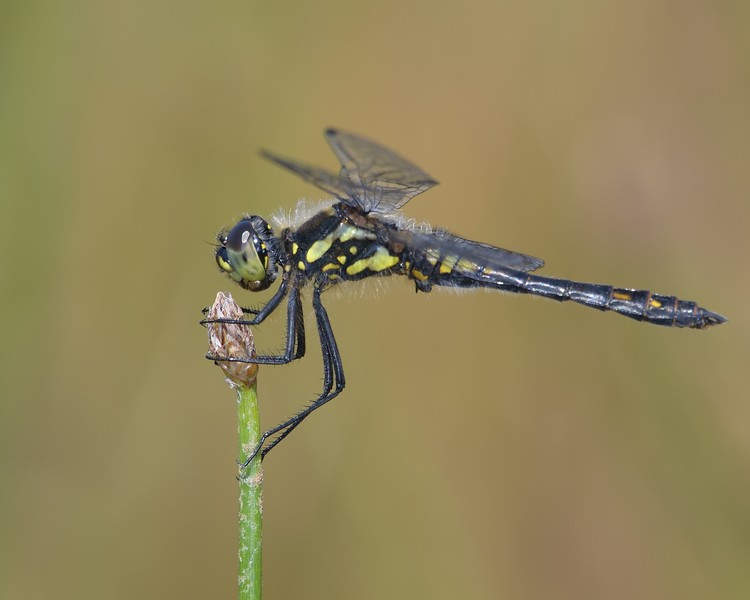 Black Darter Dragonfly at Decoy Heath on the same plant but the following day
