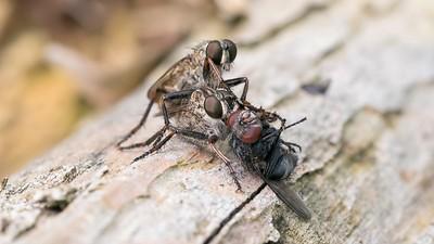 Brown Heath Robberflies - Machimus Cingulatus and prey 2