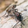 Brown Heath Robberflies - Machimus Cingulatus and prey 2