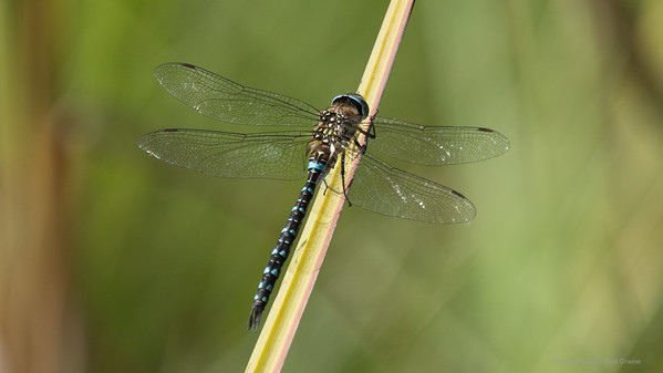 Migrant Hawker Dragonfly at Decoy Heath