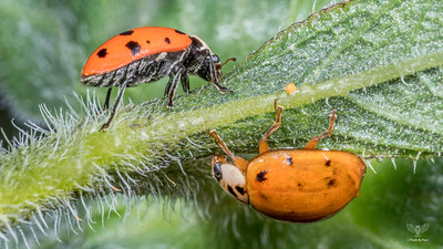 Convergent Lady Beetle - Hippodamia convergens (Top) and Asian Lady Beetle - Harmonia axyridis