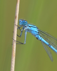 Mr Common Blue Damselfly 1 leg missing - Decoy Heath