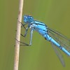 Mr Common Blue Damselfly 1 leg missing - Decoy Heath