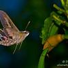 Pink sphinx moth eating