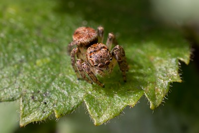Jumping spider (Salticidae) at Crookham