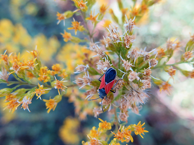Redcoat Seed Bug
