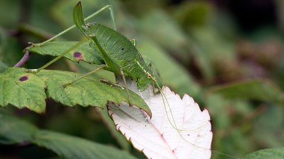 Female Speckled Bush Cricket at Hungerford