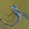 Mr Emerald Damselfly - Decoy Heath