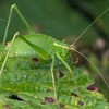 Speckled Bush Cricket at Decoy Heath