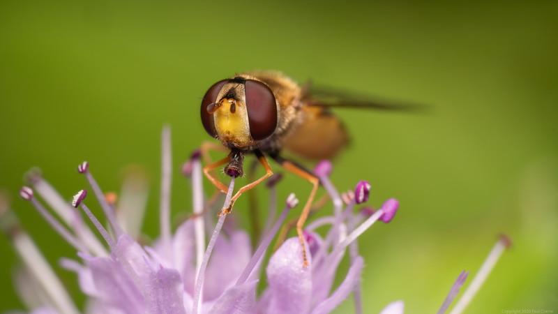 Hovver Fly Feeding 2020